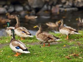В деле о мертвых утках на реке Новой появились дакхантеры и мышьяк