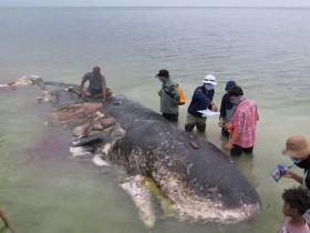У берегов Индонезии погиб кашалот, объевшийся пластиковым мусором
