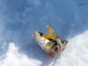 """Сельхознадзор нашел на """"Колпашевском рыбозаводе"""" речную рыбу с ртутью"""